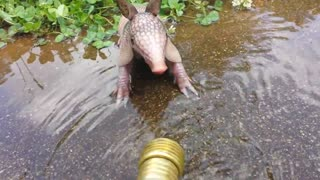 Baby armadillo plays in water