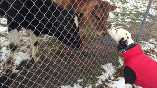 Dalmatian meets three very friendly cows - Video