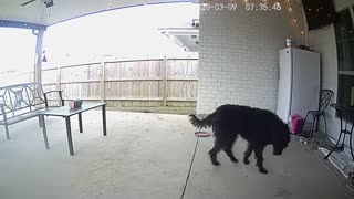 Pup gets startled by electronic treats via security camera