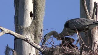 Great Blue Herons Fixing the Nest.
