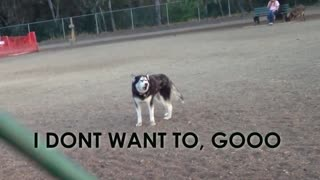 Husky Throws Priceless Temper Tantrum When It's Time To Leave Park