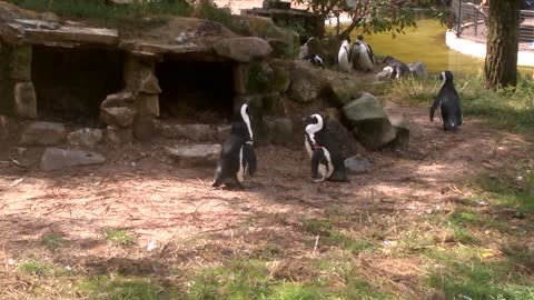 Waddling and Hopping Little Penguins