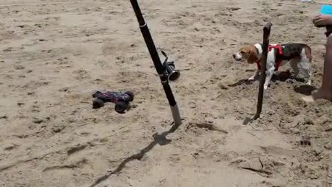 Very unhappy Beagle attacks remote controlled car