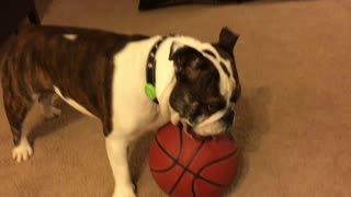 Bulldog Plays Basketball better than the Pros - Video