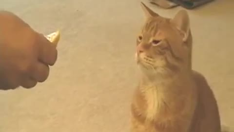 This Cat Hates Lemon