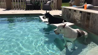 Great Danes clearly know how to chill out - Video