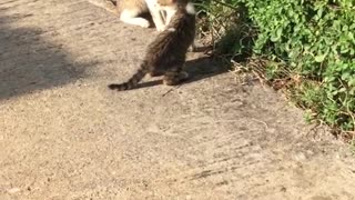 Cats play fighting with one another  - Video