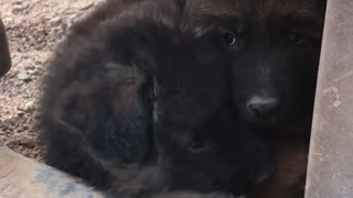 Brown puppies resting on top of one another  - Video