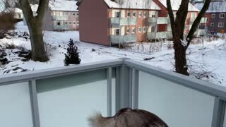 When Husky doesn't want to get into a house