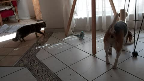 Dog and cat follow parrot's every move, desperately try to befriend it