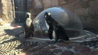 A Real Penguin Gets Sincerely Confused By A Toy Penguin - Video