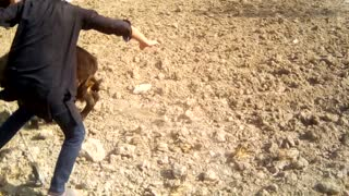 A boy playing with a Buffalo baby  - Video