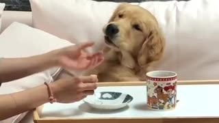 Super spoiled doggy gets breakfast in bed