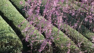 Weeping cherry blossoms are in full bloom