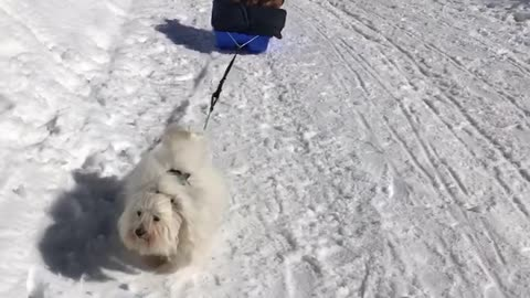 Determined little doggy pulls Pomeranians in dog sled