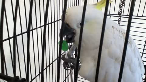 Cockatoo licks a lollipop