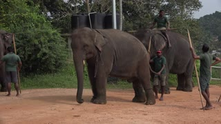 cute baby tusker try to play with his friend  - Video