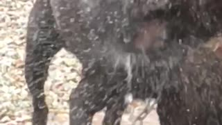 Chocolate Lab Shakes Off  - Video