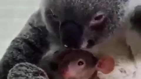 A koala saved from the fires and his baby.