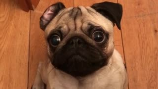 Pug Hilariously Tries To Resist The Treat