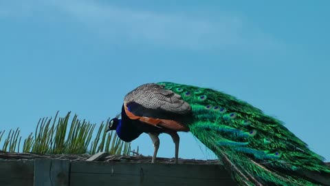 Peacock standing with the sky in the background