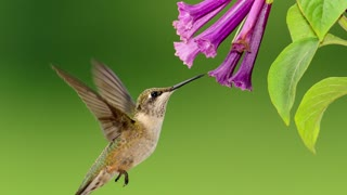Hummingbirds Prove God Created (No Evolution)