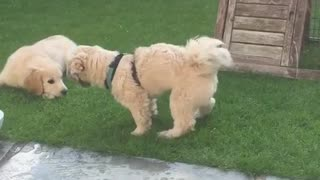 Dog shakes butt backyard