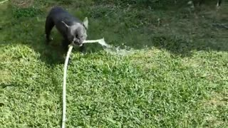 Black Frenchie gets a hold of a water hose a wreaks havoc