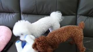 Dog playing with a doll