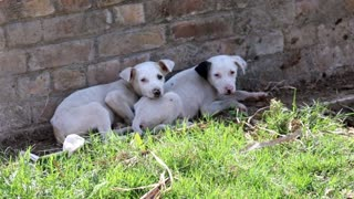 The Puppies show, 3 cute puppies  - Video