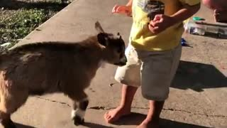 Playful baby goat headbutts confused toddler