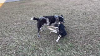 Dogs Play Fighting on the Farm