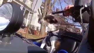 Dog cruises around in motorcycle  - Video