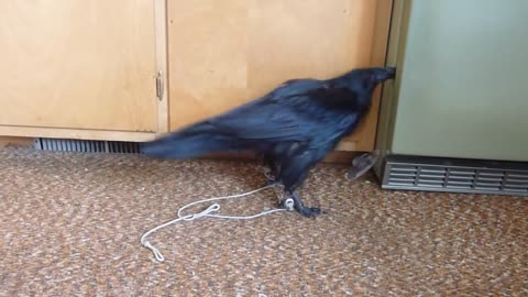 Sam the Raven has a Treasure and gets into Trouble