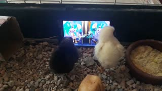 4 year old makes chicks happy by providing TV