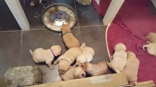19 days old Labrador puppies - Noisy, messy, adorable  - Video