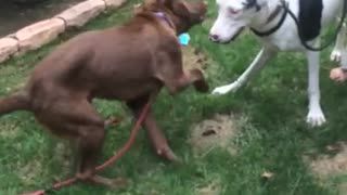 Blind Great Dane puppy learns to socialize - Video
