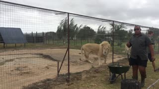 Lion and Lioness Having Dinner - Video