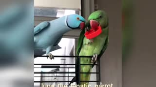 The Cutest Face-To-Face Parrot Talk - Video
