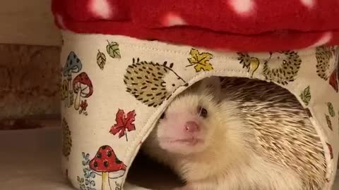 Hedgehog Lala wants to go out of the cage