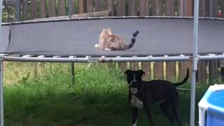 Dog and cat incredibly play together on trampoline