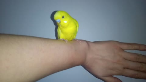 My yellow parrot is handmade. How he behaves with a person.