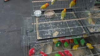 Colored Chickens For Sale Philippines