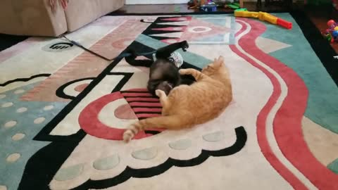 Cat wrestles with Capuchin monkey best friend
