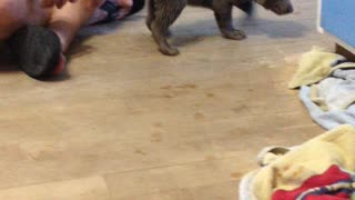 Playful Labrador puppy bouncing and pouncing across the floor