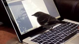 Baby mockingbird thinks laptop cursor is a bug - Video