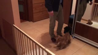 Cute puppy greeting her owner after he comes back from work - Video