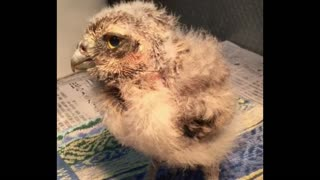 Owl After 15 Days Of Birth