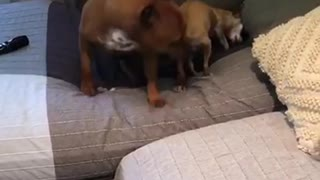 Dog tries to jump on couch  - Video