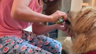 Sweet golden retriever watches while young owner trims her nails .
